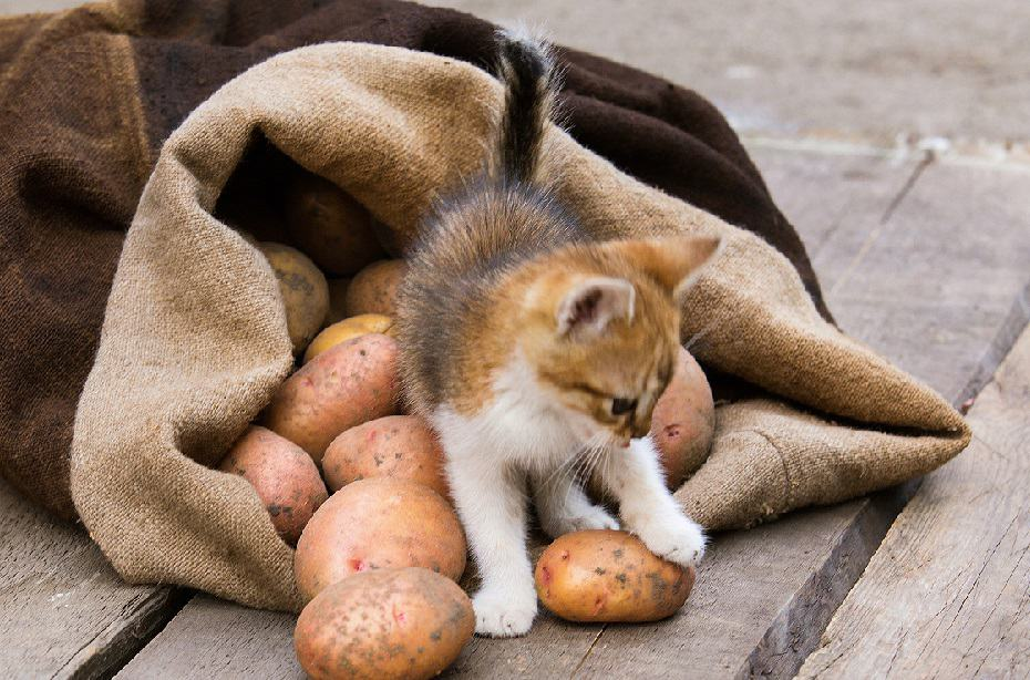 can cats eat potatoes?
